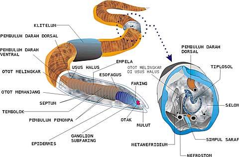 nemathelminthes contoh penyakit hogyan lehet eltávolítani a pinwormokat természetes gyógyszerekkel