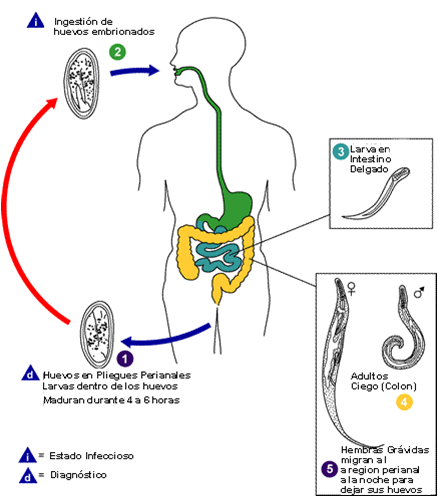 nitazoxanid pinworms)