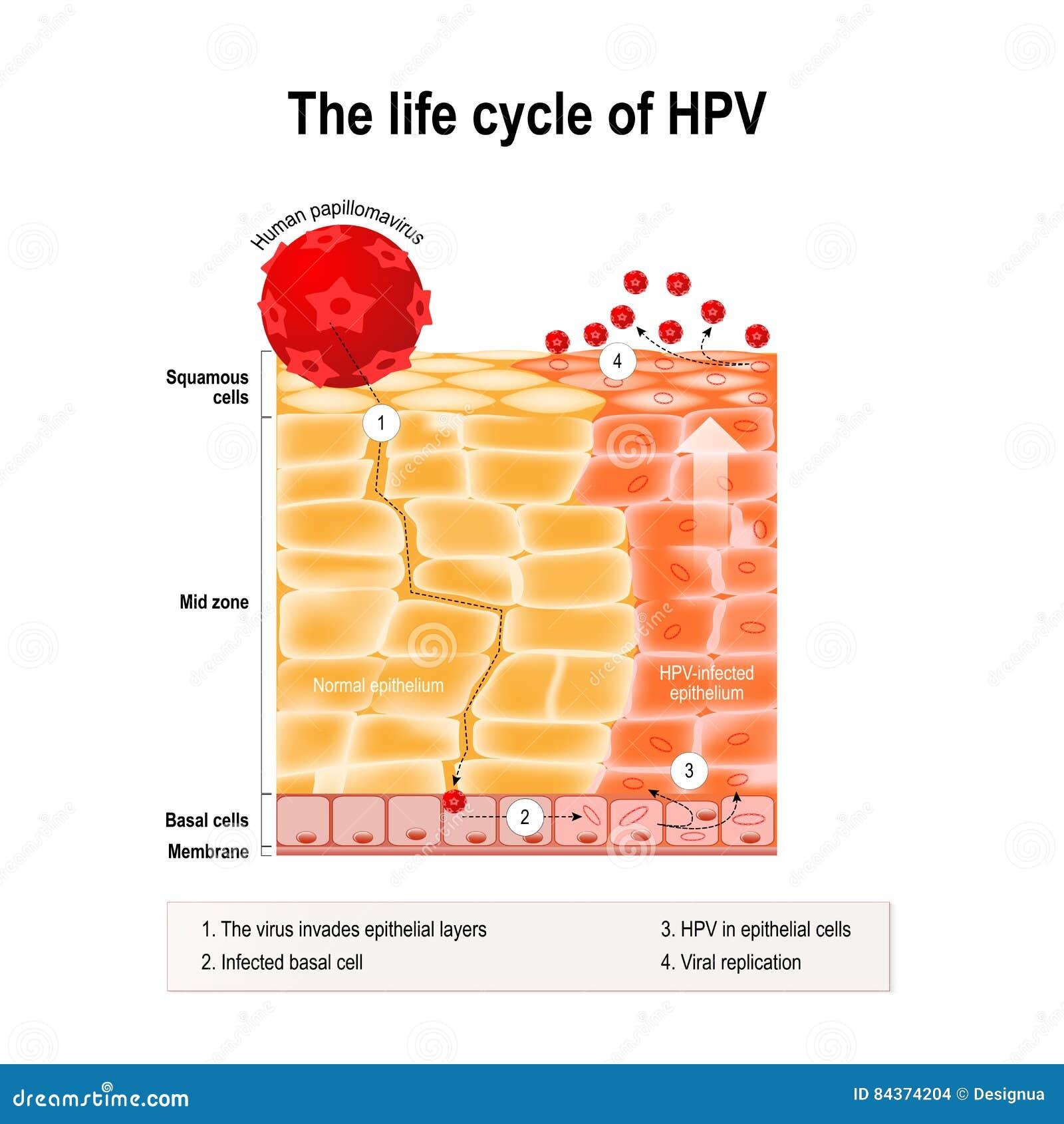 papilloma vírus 4)