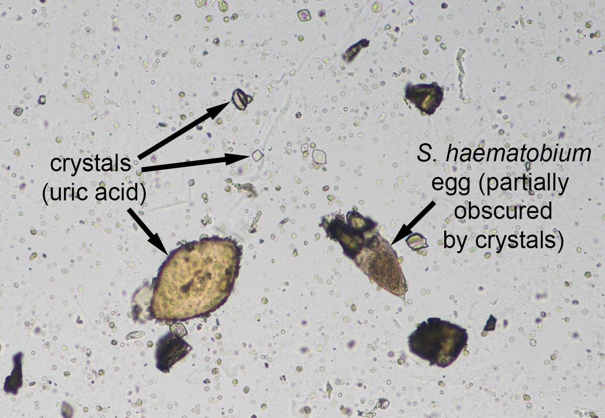 schistosomiasis irányelvek
