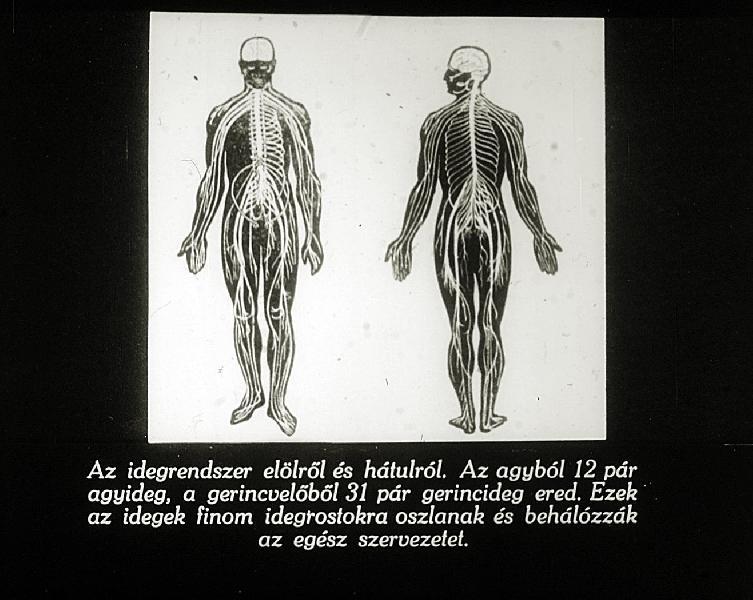 vérlemezke idegrendszer