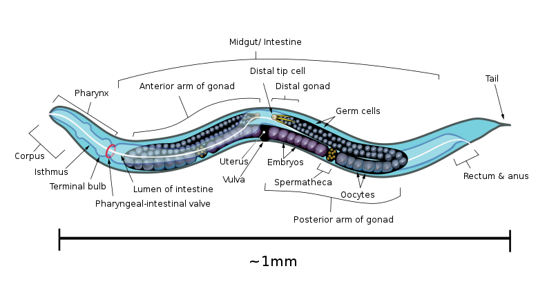 aschelminthesek és fonálférgek