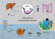 schistosomiasis kezelések