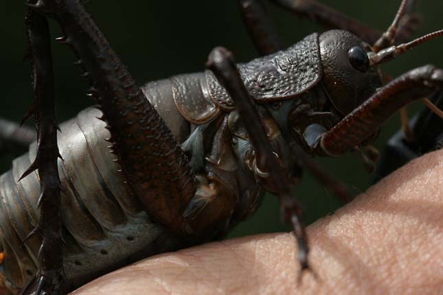 a legnagyobb rovar)