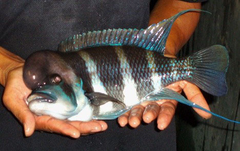 a Borneo folyó parazitái)