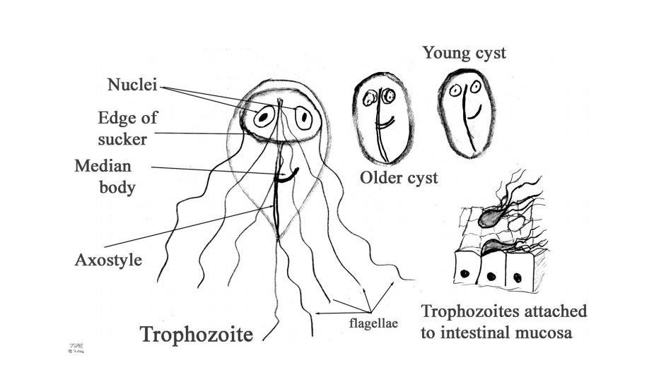 a giardia parazita életciklusa)