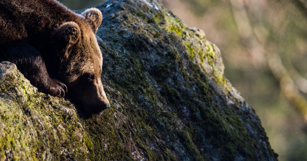 hpv vírus medve