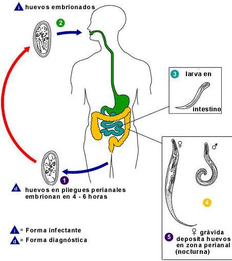enterobiasis definíció