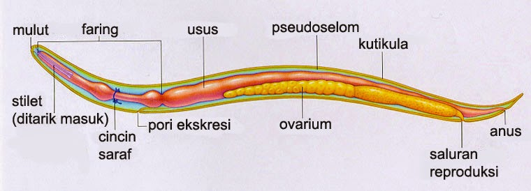 nemathelminthes contoh penyakit)